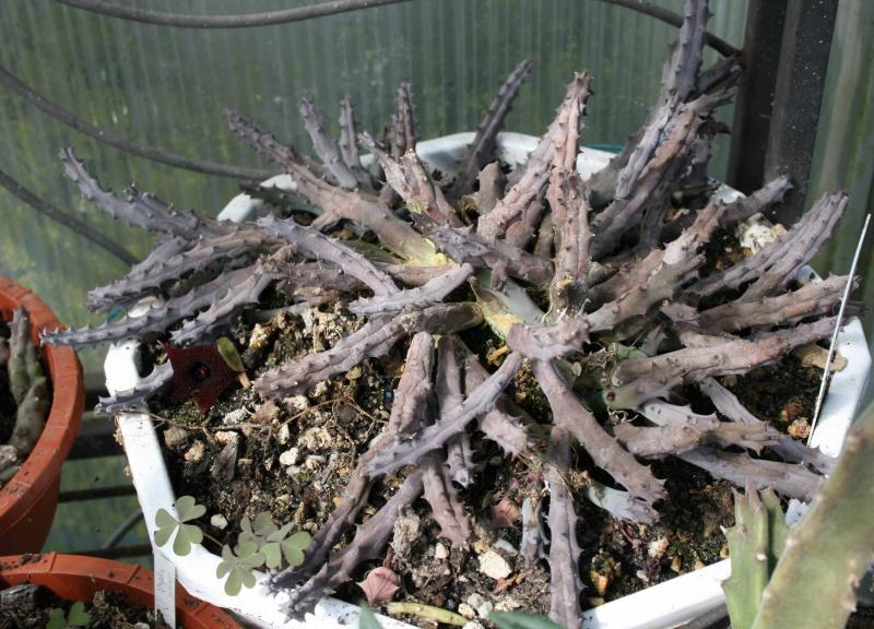Asclepiadaceae - Saison 2013 - Page 2 571987huerniapenderiformisplante
