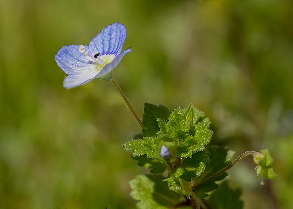 Fleur bleue 572121403588fleurbleue