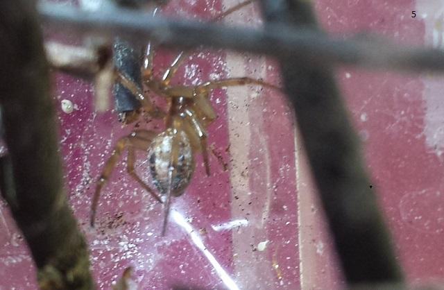 VDS/ECH Steatoda nobilis / Ctenidae sp / Segestria sp. 57325220140805163234