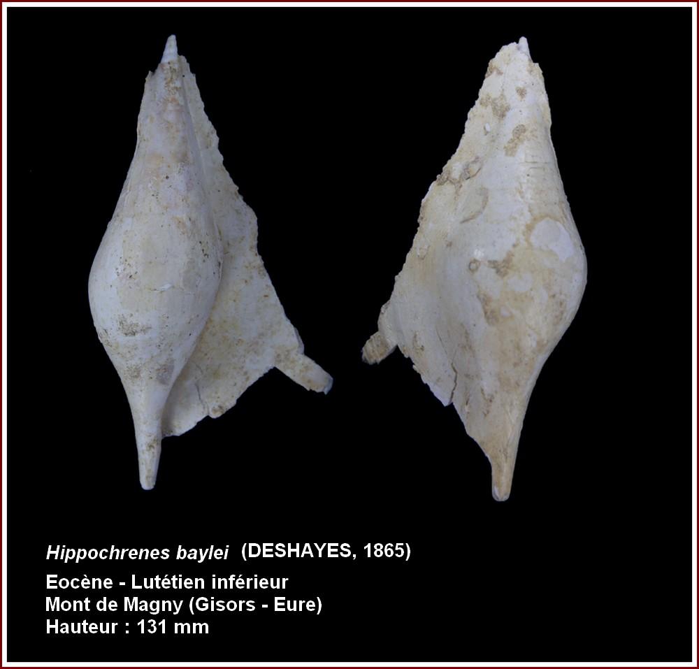 "† Strombidae fossiles de la collection ""hybodus"" - Eocène du bassin parisien 573700plbayleigisors2"