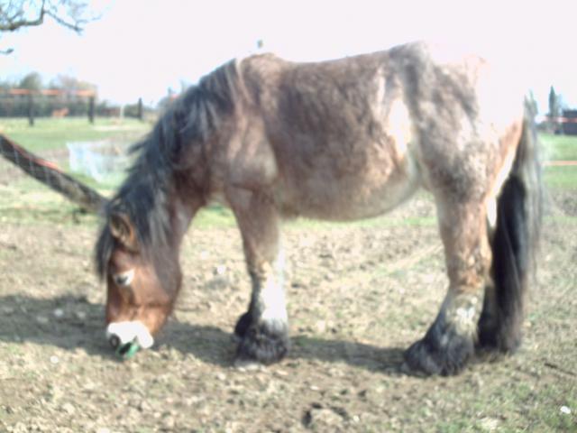 (dpt 27) VITTEAUX Trait Ardennais, né en 2009, rouan, hongre, NON MONTABLE (en famille d'accueil chez BENOIT) 574717PICT0124