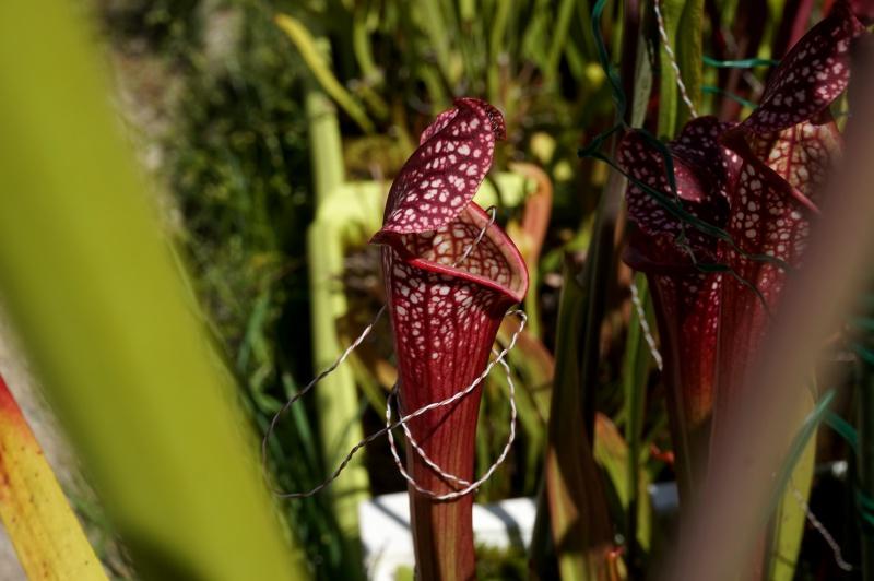 expérimentations scientifiques sur le genre Sarracenia 576804expriencesylvain