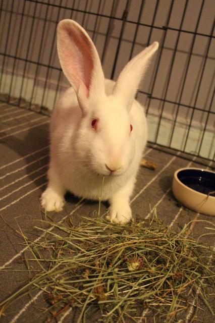 Association White Rabbit - Réhabilitation des lapins de laboratoire - Page 2 577477IMG8367