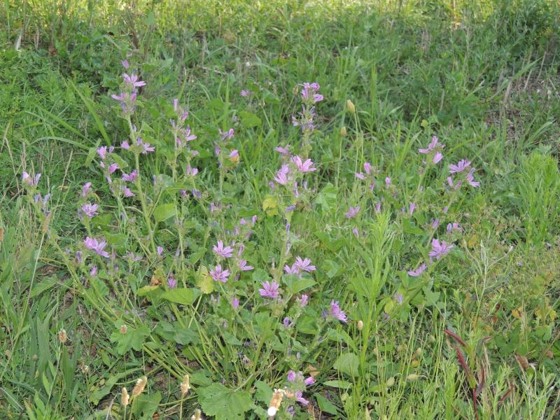 Mauve Sauvage Plante Gite Pompadour Lubersac