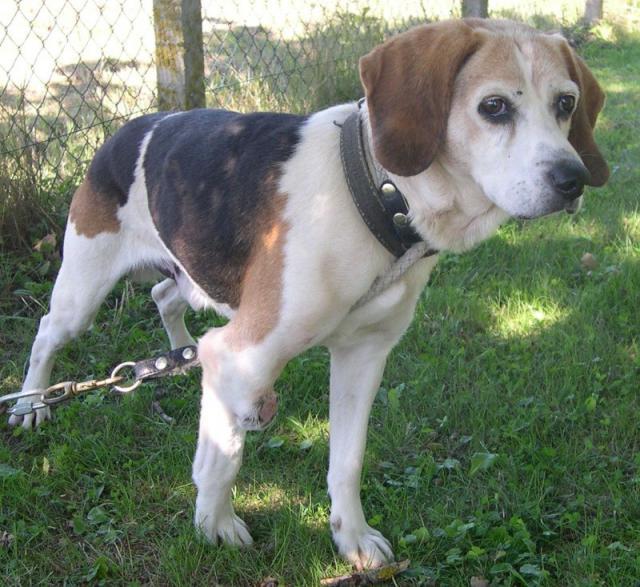 PATTO, croisé beagle mâle,  10 ans (25) 580063patto11