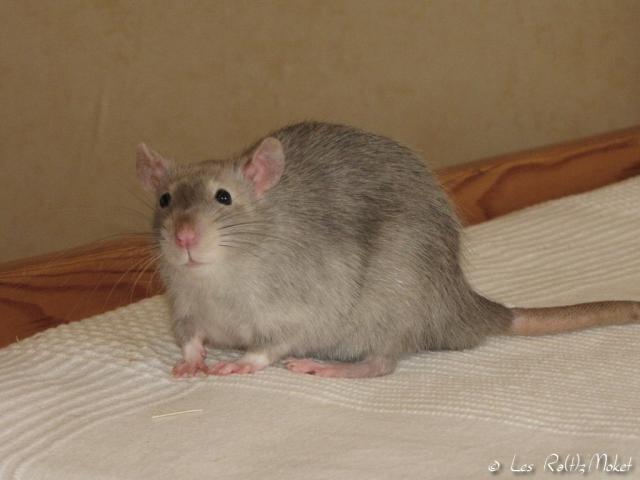 [GÉNÉTIQUE]  Marquages et dilutions du rat domestique 59137106071148