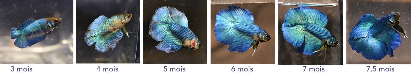 F3 - Lignée VL bleu HM/DT - Page 3 594258malef38evolution