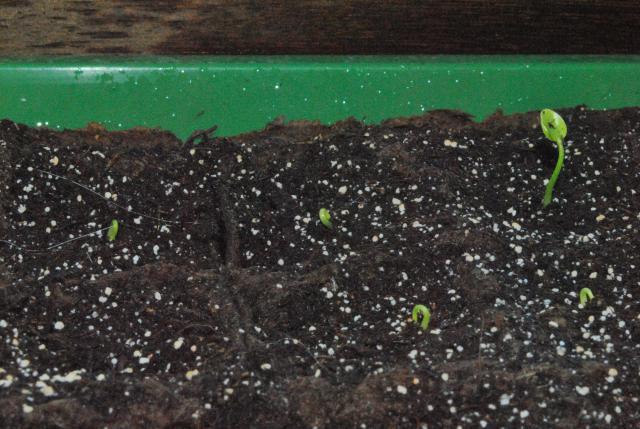 tentative de semis de schefflera  595816DSC4515