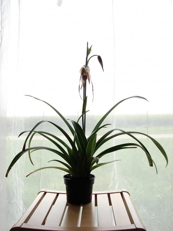 Phragmipedium Grande 'La Tuilerie' (caudatum x longifolium) 598461plante2014
