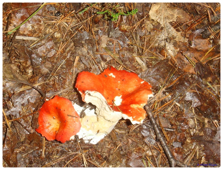 [fil ouvert] les champignons - Page 3 601971DSC011335