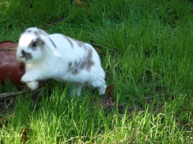 Nina, lapine bélier, née en aout 2011 - Page 4 603027P1110290