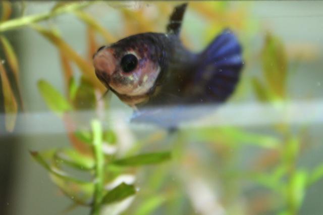 Prunelle ; femelle HM marbrée violette 609501089