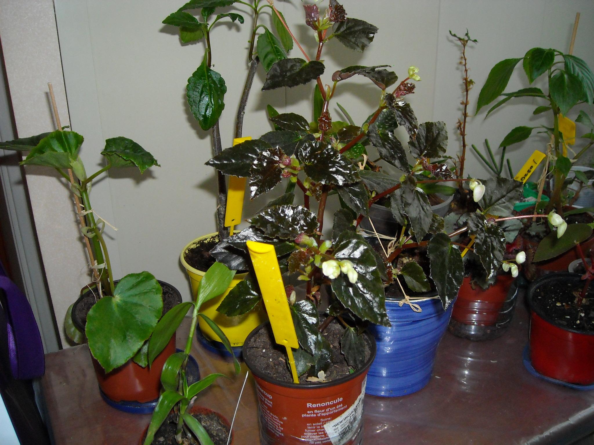 Qui ?  begonia glowing embers   (2) 626428planteselodi001