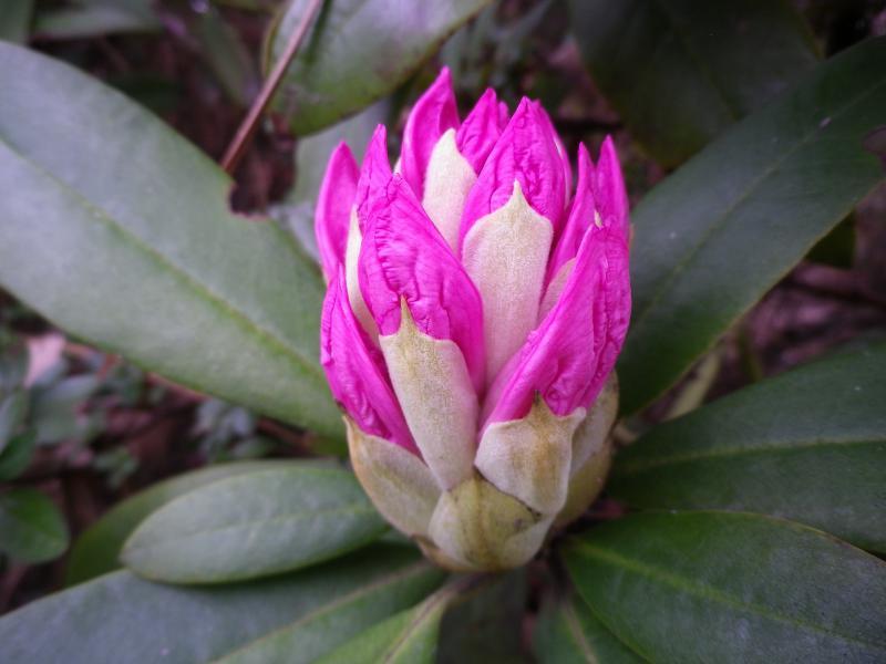 Quelques floraisons 627300RhododendronIMGP1122