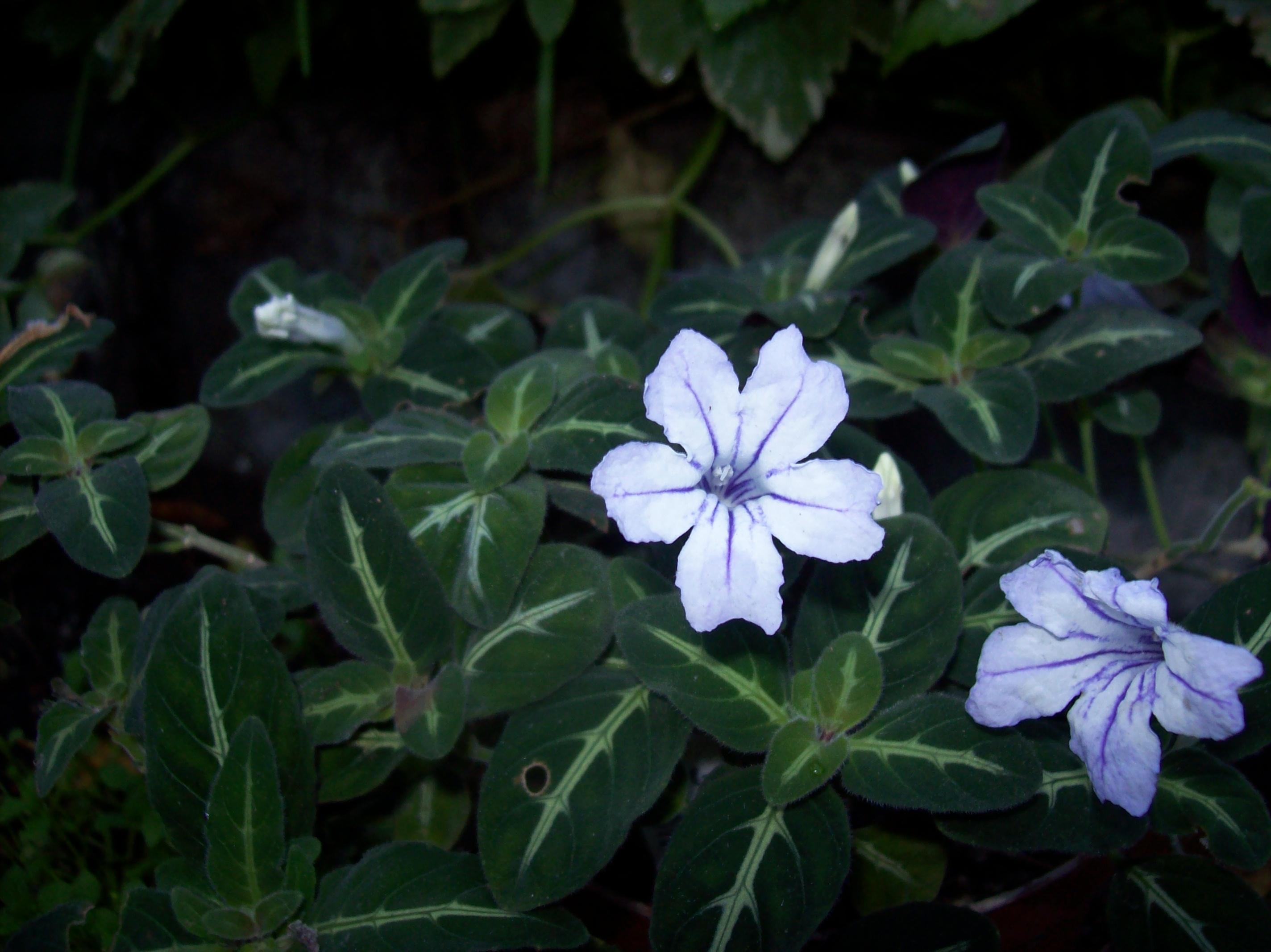 Quelques photos de plantes en fleurs en ce moment 629445ruelliamakoyanableuJPG
