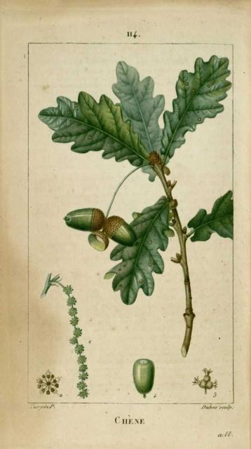 09/2014 Botanique 630006chene20rouvre