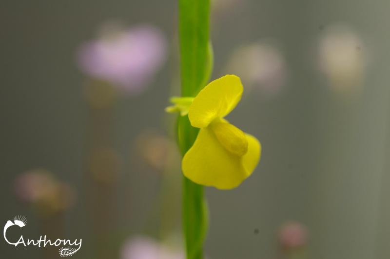 Utricularia involvens 635878IMGP6300