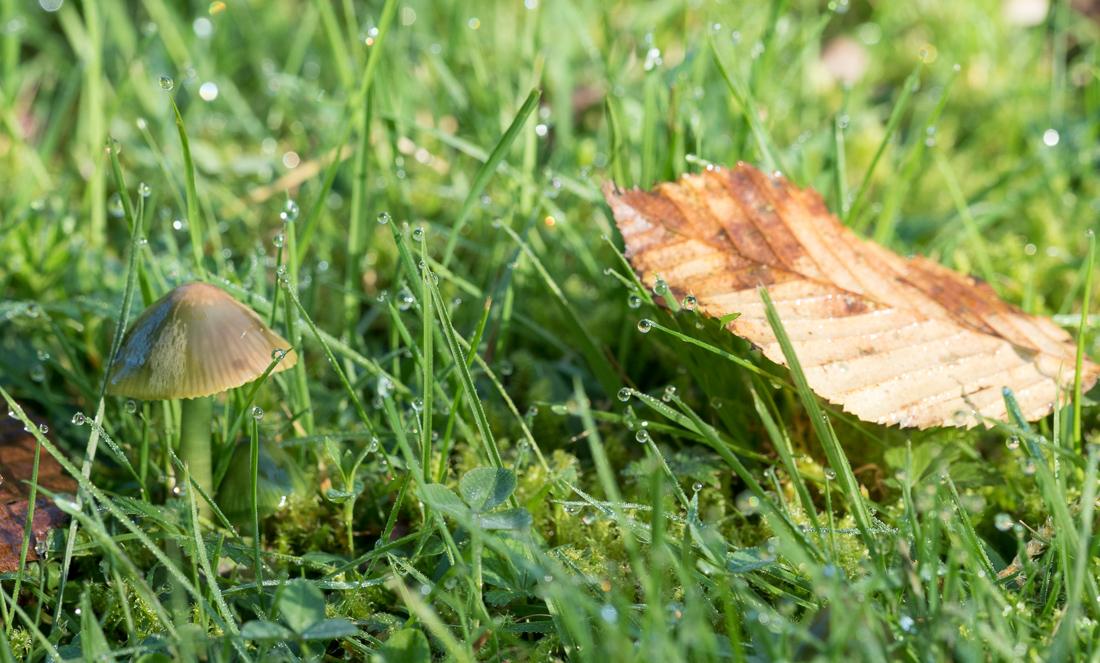 Hygrocybe perroquet 635913Hygrocybepsittacina