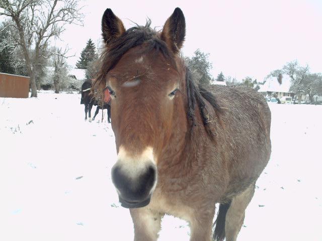 (dpt 27) VITTEAUX Trait Ardennais, né en 2009, rouan, hongre, NON MONTABLE (en famille d'accueil chez BENOIT) 638224PICT0246