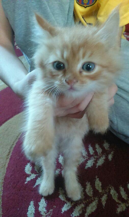 3 قطط شيزاريه صغيره للبيع 640910532