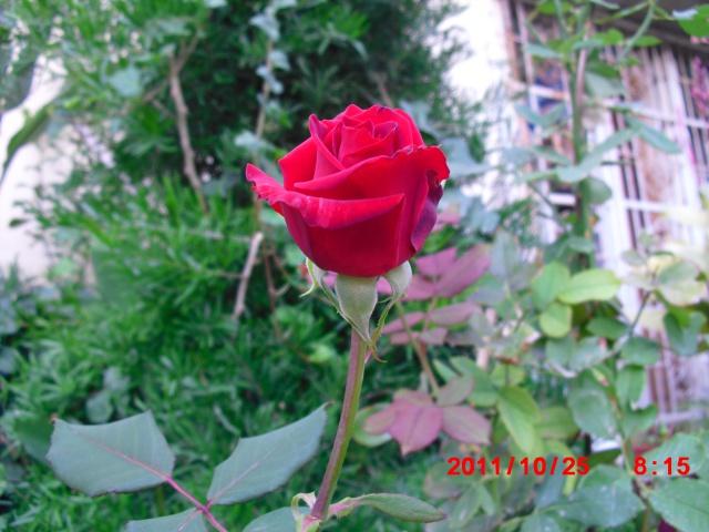 floraisons d'octobre - Page 5 663197Roserouge