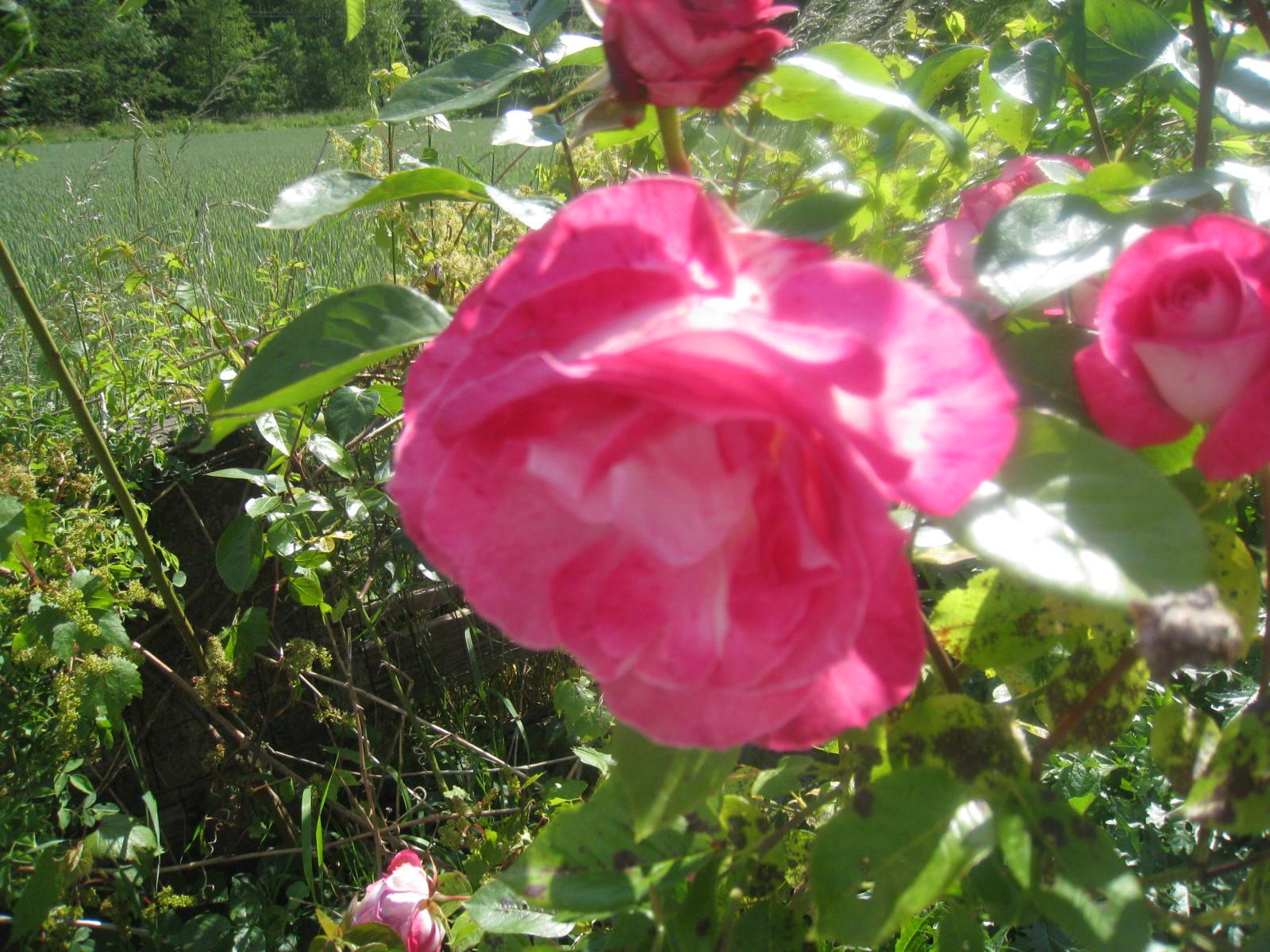 en fleurs chez moi - Page 2 664027006