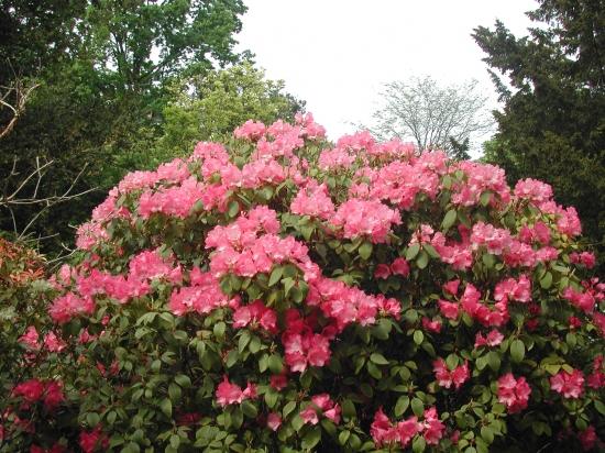 Vote pour le plus bel  arbre printanier fleuri 670154rhododendron