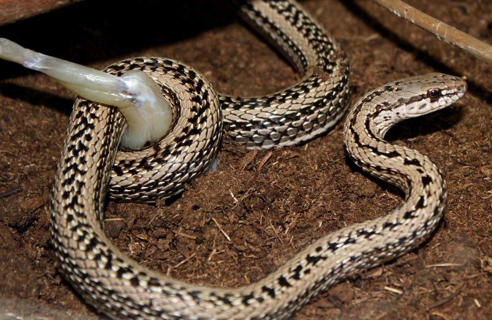 Les Philodryas aiment la grenouille 671884IMG7401