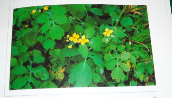 chélidoine ou herbe a verrues 672184135428008