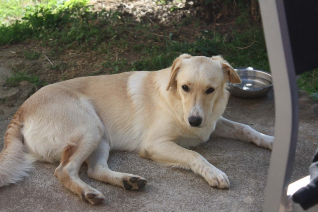 Honey, femelle croisée labrador/chasse disparue le 25/08 de St Benin des bois (58) 6743233318