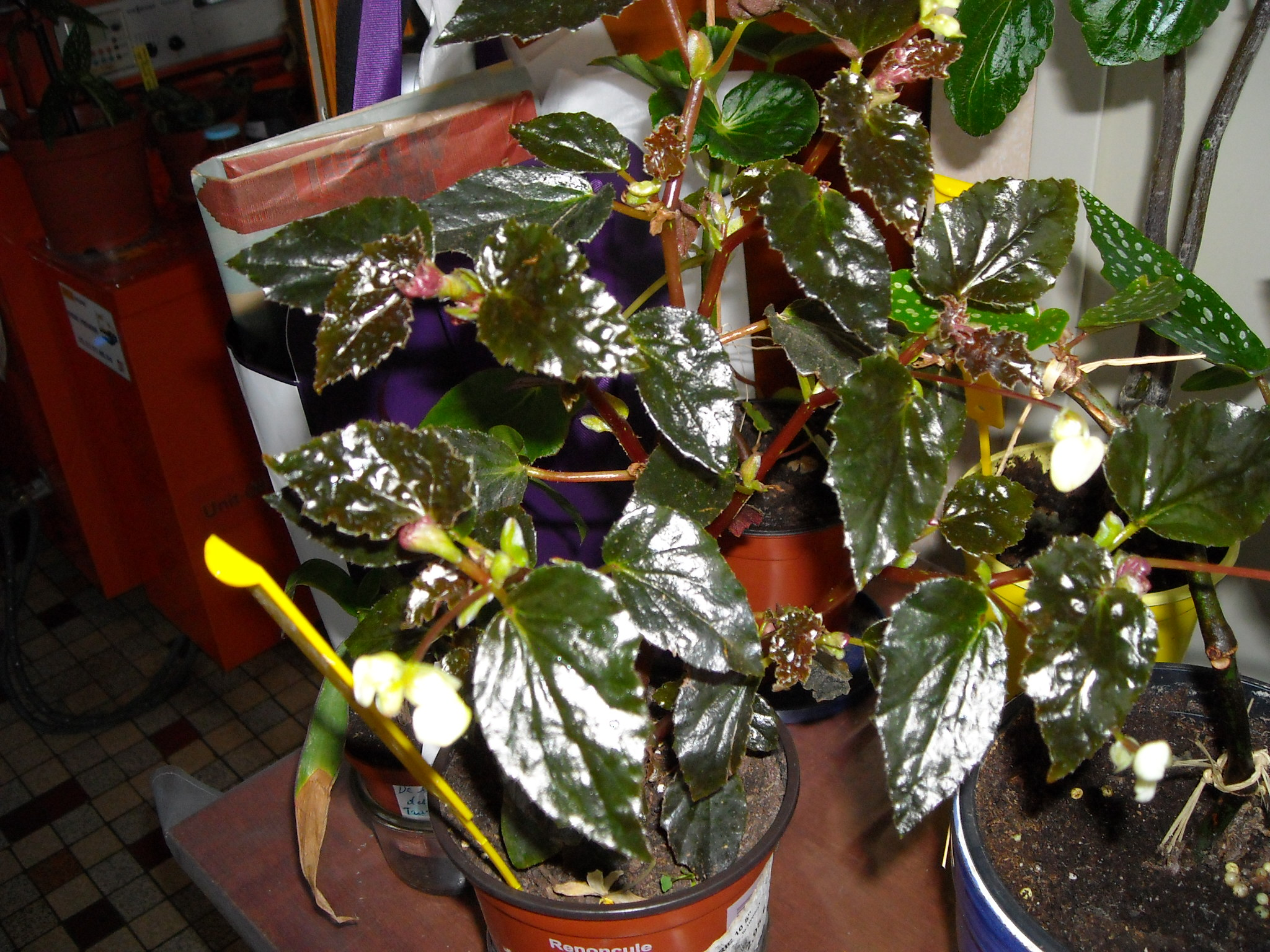 Qui ?  begonia glowing embers   (2) 677963planteselodi002
