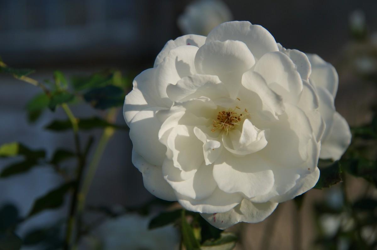[Fil ouvert] Fleurs et plantes - Page 8 683084DSC07826
