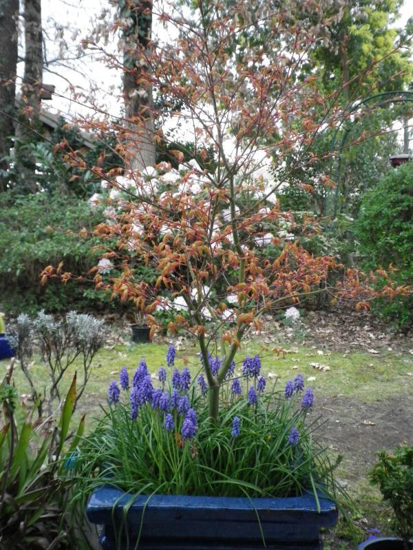 Quelques floraisons 684956AcerpalmatumIMGP1230