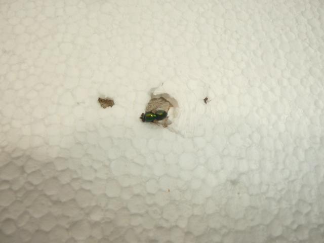 [Diptera calyptrata] famille mouche reflets metalliques 686266P1120170