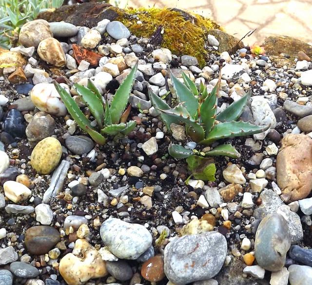 Agave ovatifolia 687256Agaveovatifoliasemis1