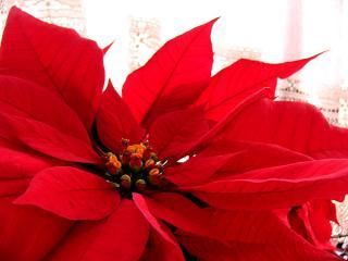 Euphorbia pulcherrima- Poinsettia, étoiles de Noël  :bouturage, entretien 687928poinsettiajpg