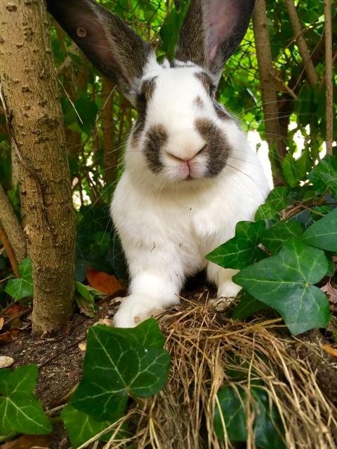 Association White Rabbit - Réhabilitation des lapins de laboratoire - Page 2 688345251659image4