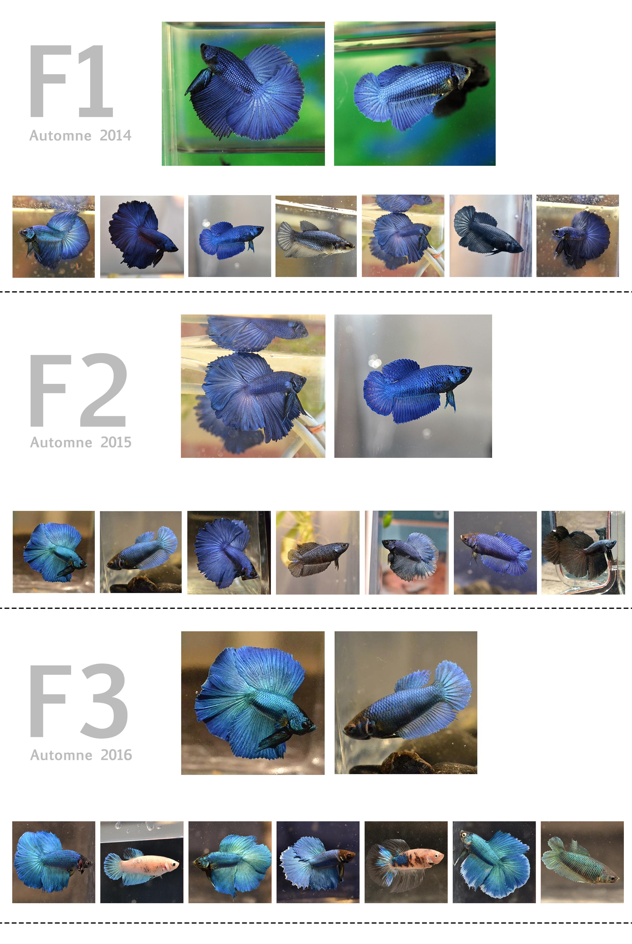 F3 - Lignée VL bleu HM/DT - Page 3 692372ligneebleuf3