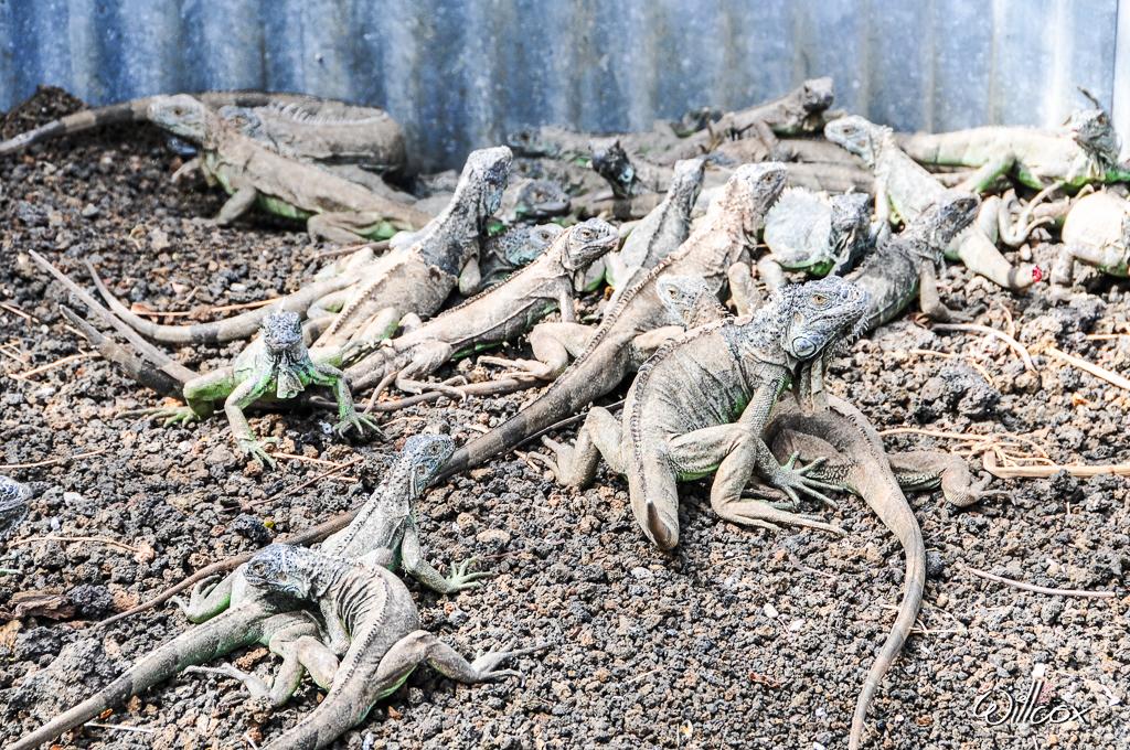 [Fil ouvert à tous] Reptiles, serpents, tortues, amphibiens, ... 692998YD12997