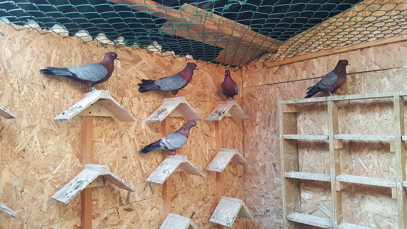 Elevage de pigeon chez Théo 69347620160317180131