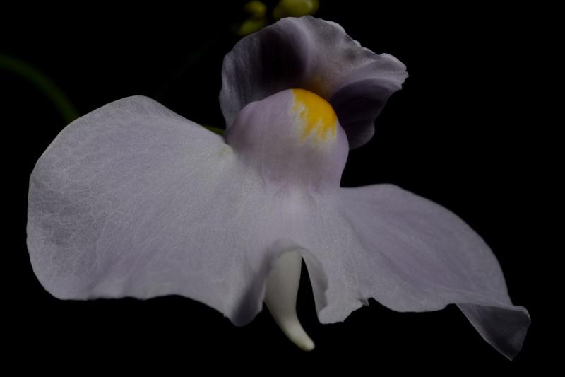 Utricularia longifolia 693642291