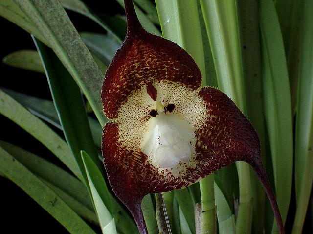 orchidée singe 703046ATT00004