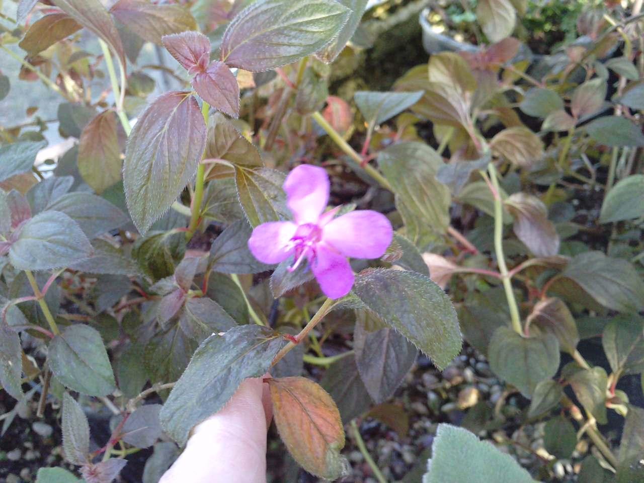 Qu'est ce que c'est que cet arbuste ??? [Centradenia floribunda] 703183P16011213530002