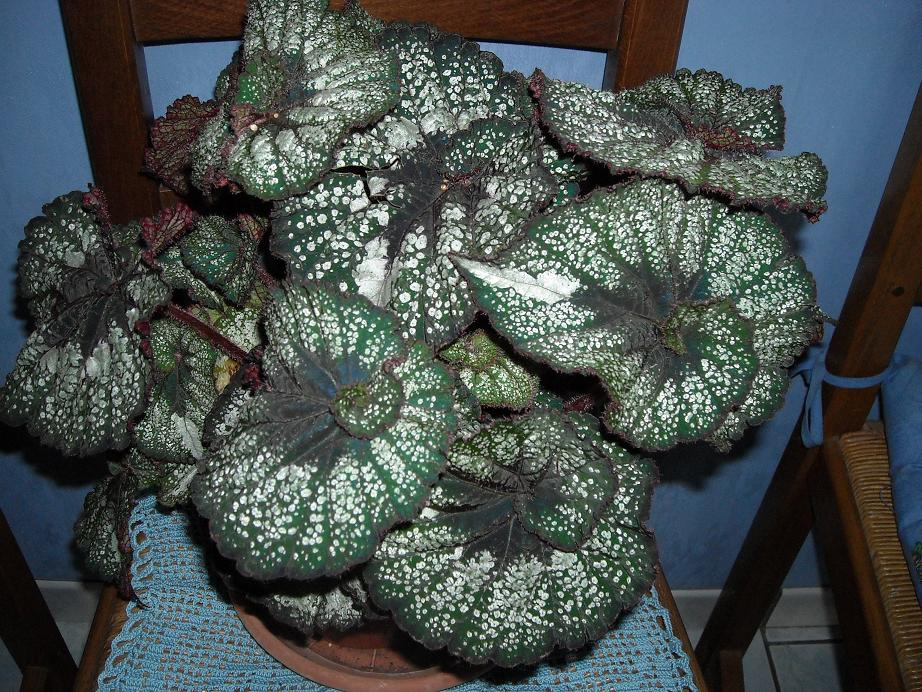 est-ce bien le platanifolia,ou autre 705340comp3