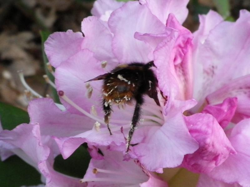 Quelques floraisons 710338RhododendronIMGP1203