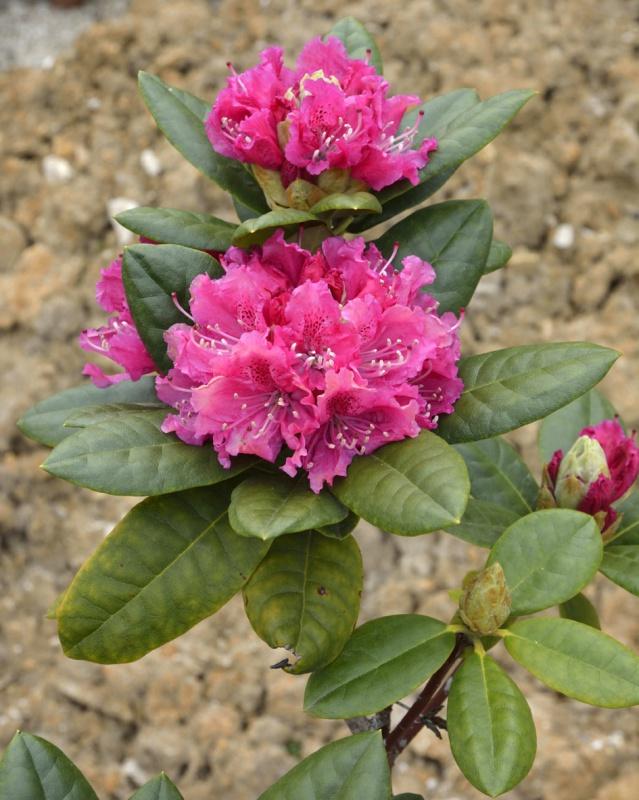 sauvetage d'un Rhododendron - Page 2 715786DSC5327