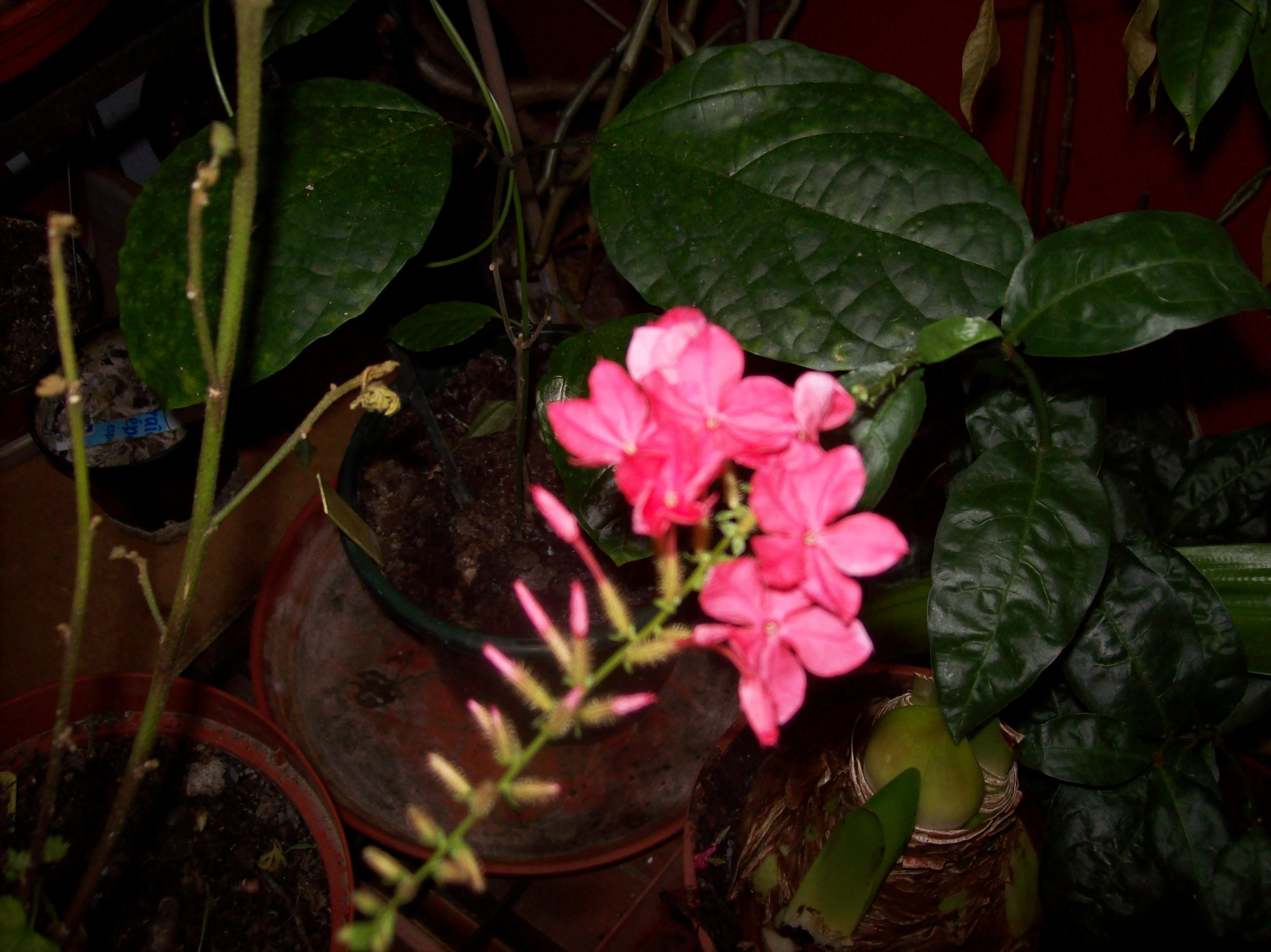 Quelques photos de plantes en fleurs en ce moment 7286571000600JPG