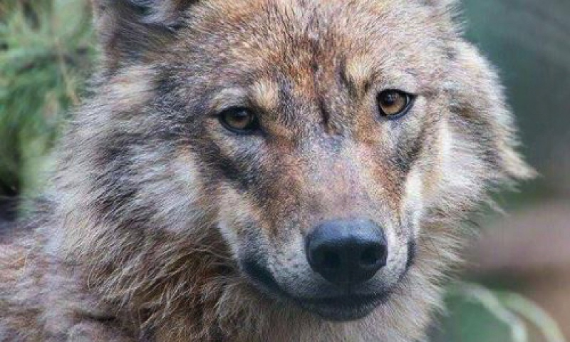 [PETITION] Animaux - Inscription of the WOLF to Unesco ! 733528loup