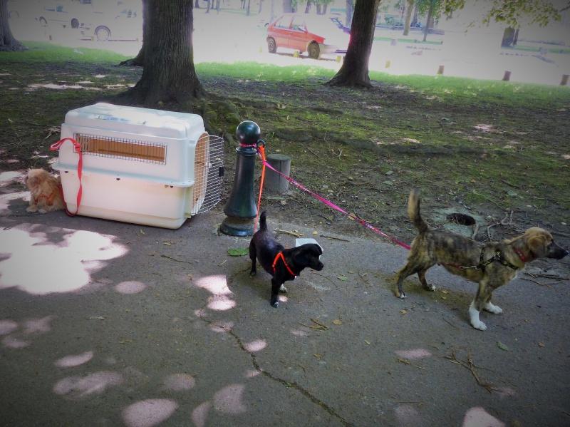Yvona, née en 2011, petit modèle, chienne super sage 743361P1090927