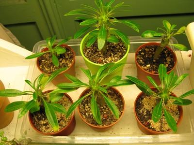 1er semis de cactées et de Pachypodium 743623semispachyjpg